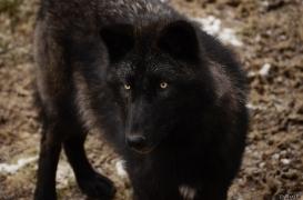 WolfScienceCenter1201Ria_Wamblee-04