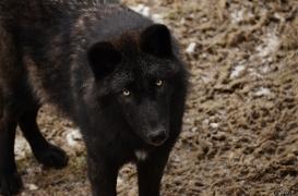 WolfScienceCenter1201Ria_Wamblee-05