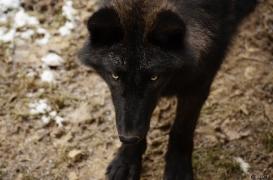 WolfScienceCenter1201Ria_Wamblee-06