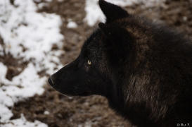 WolfScienceCenter1201Ria_Wamblee-07