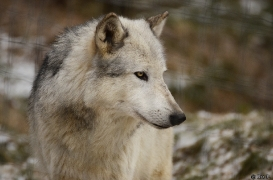 WolfScienceCenter1201Ria_Yukon-01
