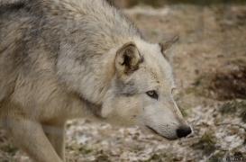 WolfScienceCenter1201Ria_Yukon-02