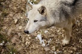 WolfScienceCenter1201Ria_Yukon-03