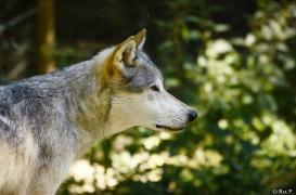 WolfScienceCenter1308Ria_Geronimo-02