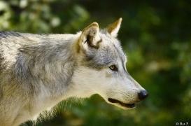 WolfScienceCenter1308Ria_Geronimo-03