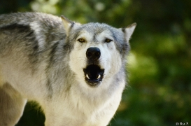 WolfScienceCenter1308Ria_Geronimo-06