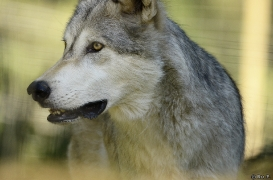 WolfScienceCenter1308Ria_Geronimo-11