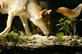 WolfScienceCenter1308Ria_Tala-01