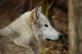 WolfScienceCenter1401Ria_Yukon-01