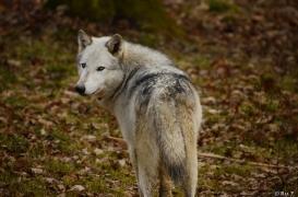 WolfScienceCenter1401Ria_Yukon-02
