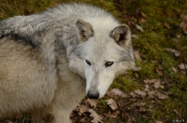 WolfScienceCenter1401Ria_Yukon-03