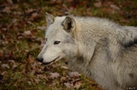 WolfScienceCenter1401Ria_Yukon-04