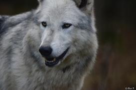 WolfScienceCenter1401Ria_Yukon-06