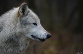 WolfScienceCenter1401Ria_Yukon-07