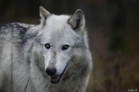 WolfScienceCenter1401Ria_Yukon-08