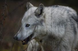 WolfScienceCenter1401Ria_Yukon-09