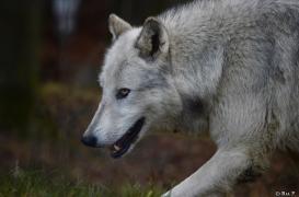 WolfScienceCenter1401Ria_Yukon-10