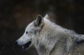WolfScienceCenter1401Ria_Yukon-11