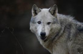 WolfScienceCenter1401Ria_Yukon-12