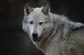 WolfScienceCenter1401Ria_Yukon-13