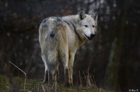 WolfScienceCenter1401Ria_Yukon-14