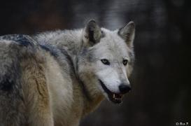 WolfScienceCenter1401Ria_Yukon-15