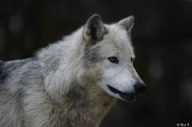 WolfScienceCenter1401Ria_Yukon-16