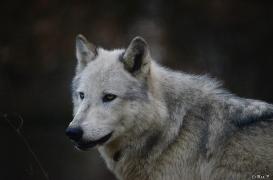 WolfScienceCenter1401Ria_Yukon-17