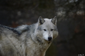 WolfScienceCenter1401Ria_Yukon-18