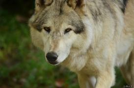 WolfScienceCenter1410Ria_Amarok-01