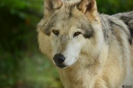 WolfScienceCenter1410Ria_Amarok-02