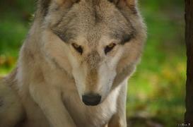 WolfScienceCenter1410Ria_Amarok-03