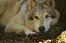 WolfScienceCenter1410Ria_Amarok-04