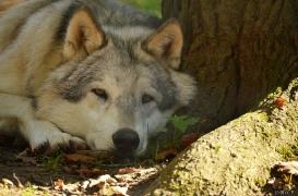 WolfScienceCenter1410Ria_Amarok-05