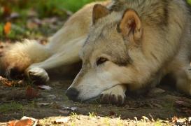 WolfScienceCenter1410Ria_Amarok-06
