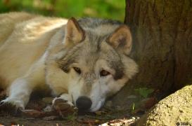 WolfScienceCenter1410Ria_Amarok-07
