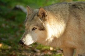 WolfScienceCenter1410Ria_Amarok-08