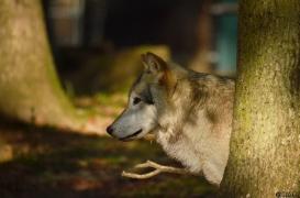 WolfScienceCenter1410Ria_Amarok-09