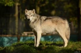 WolfScienceCenter1410Ria_Geronimo-01