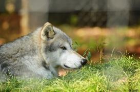 WolfScienceCenter1410Ria_Geronimo-03