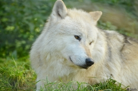 WolfScienceCenter1410Ria_Nanuk-01