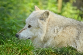 WolfScienceCenter1410Ria_Nanuk-02