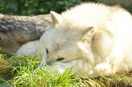 WolfScienceCenter1410Ria_Nanuk-04