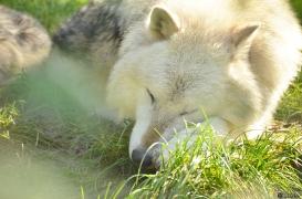 WolfScienceCenter1410Ria_Nanuk-05