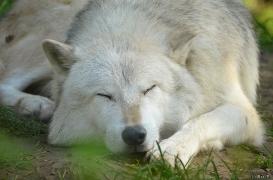 WolfScienceCenter1410Ria_Nanuk-06