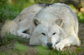WolfScienceCenter1410Ria_Nanuk-07