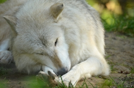 WolfScienceCenter1410Ria_Nanuk-08