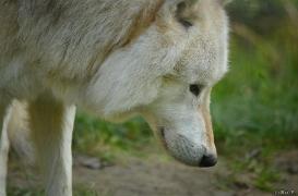 WolfScienceCenter1410Ria_Nanuk-10