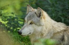 WolfScienceCenter1410Ria_Una-01
