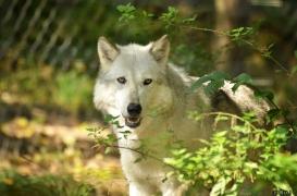 WolfScienceCenter1410Ria_Yukon-01